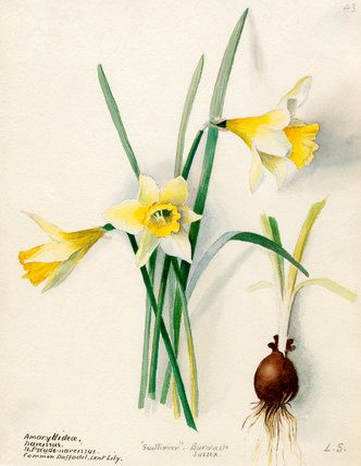 Lilian Snelling -- Amaryllidaceae, Narcissus -- Daffodil -- View By Flower -- RHS Prints