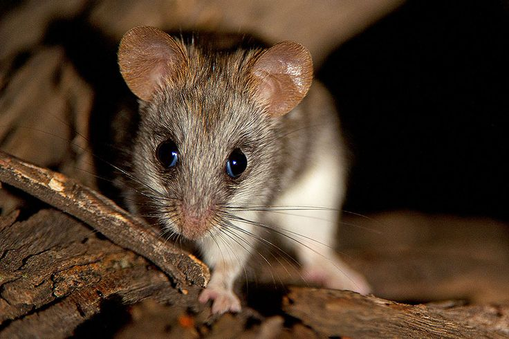 Tree Mouse in the Grootkolk Desert Camp in the Kgalagadi Transfrontier Park, Kalahari Desert, South Africa: Photographed by Shane Saunders  (Cape Town, RSA)