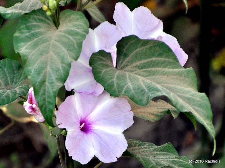 rachidH posted a photo:  Morning Glory Blossoms ~ Ipomoea sp. in Saqqara, Dahshour, Memphis, Egypt
