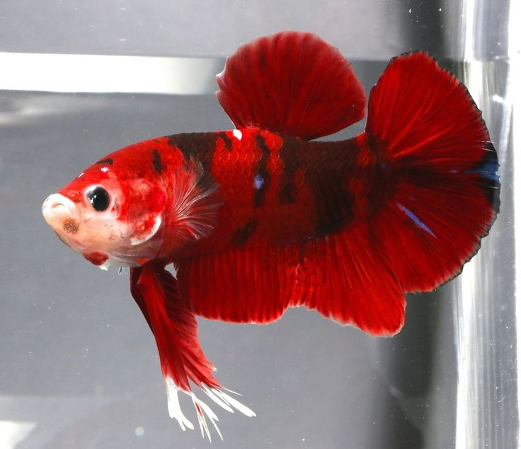 1000 images about bettas on pinterest copper auction for Red koi fish for sale