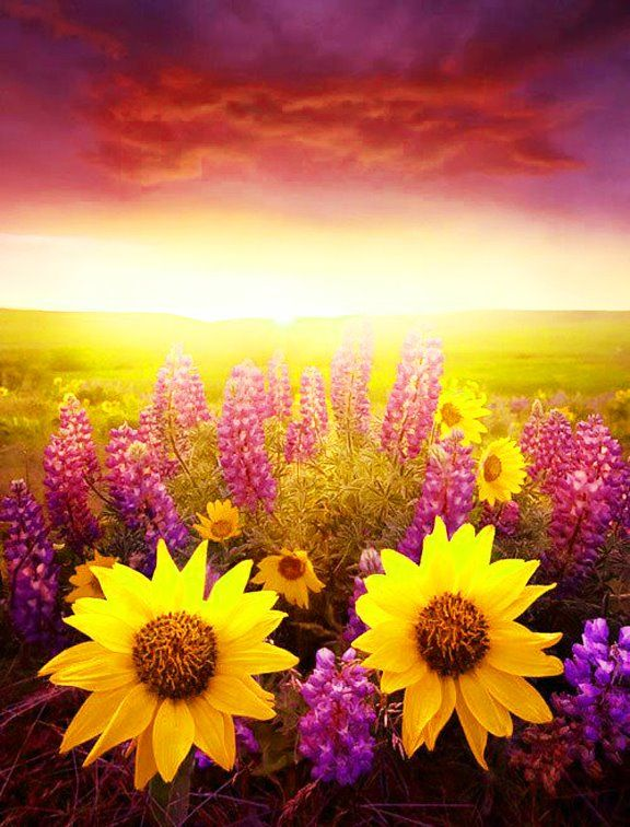 Pink & Yellow: Sunshine Flowers, Nature, Color, Sunflowers, Beautiful Flowers, Sunrise Sunset, Beauty, Things, Garden