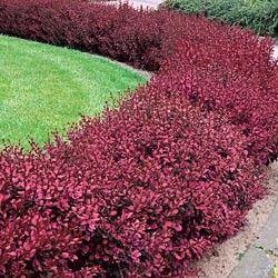 Red Japanese Barberry Hedge, low growing, shade tolerant. Deer resistant.