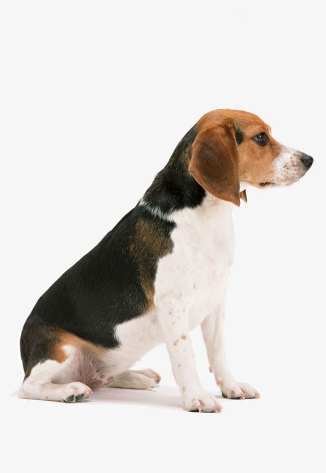 Big Ears Beagles Long Ears Dogs Large Dogs Png Transparent