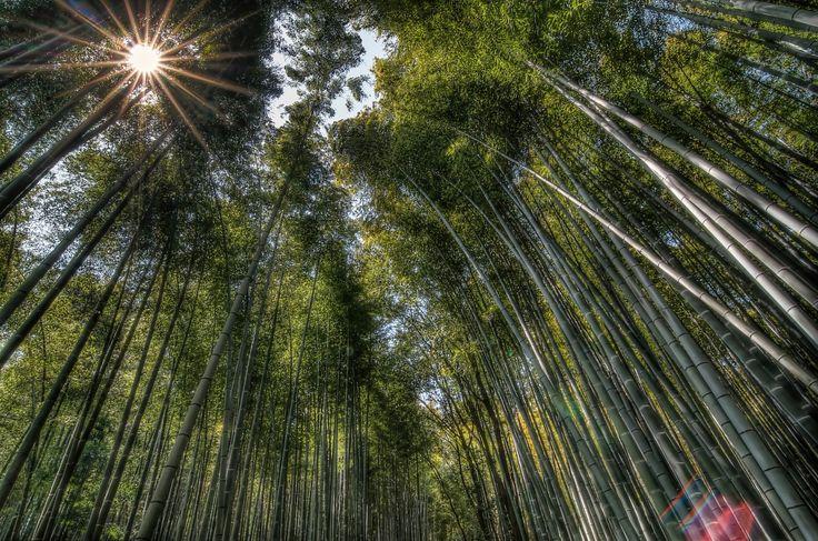 Arashiama bamboo forest, Japan, Asia