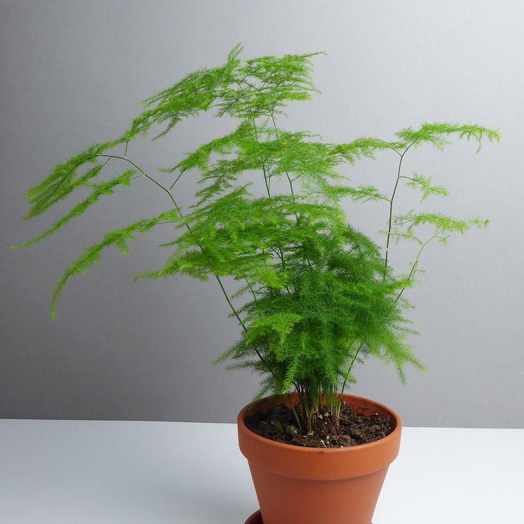 Grünpflanze, Zierspargel Asparagus kaufen - The Botanical Room
