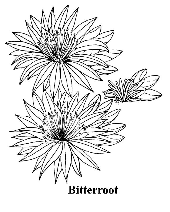 Bitterroot Flower Sketch 17 best images about B...