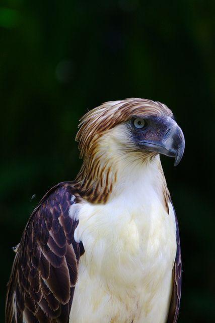 Birds of Prey - The Philippine Eagle