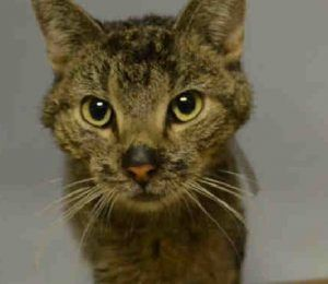 Super Urgent Brooklyn - LEO #A1100824 - 5 YR NEUTERED GARY TABBY - POSS. STOMACH ILLNESS*If we cannot confirm placement today then Leo will need to be included in the offsite cat quarantine.    We can have these cats vaccinated and combo tested if needed, but they need to leave today Mon. Jan. 2.**    Leo is a little emaciated and has had diarrhea and has been vomiting for a couple of months. Owners did not speak English well and could not explain what the vet had told them Leo is sick from.