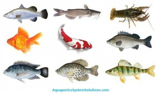 50 best diy aquaponics made easy images on pinterest for Best fish for hydroponics
