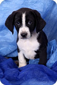 Image Result For Beagle Puppies St Louis Mo