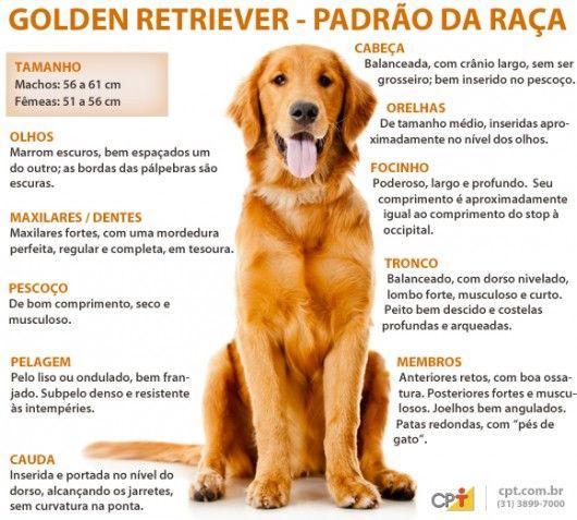 Padrão da raça Golden Retriever