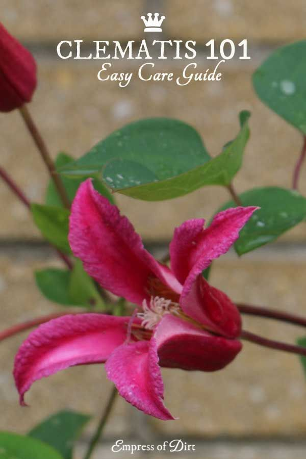 Clematis 101 Easy Care Guide | Clematis is one of the most-loved garden vines yet it's not always easy to know when to prune your vines or leave them alone. This will help you determine which type of clematis vine you have and when it's best to trim it ba