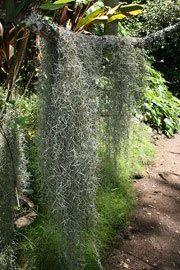 Тилландсия уснеевидная, или испанский мох