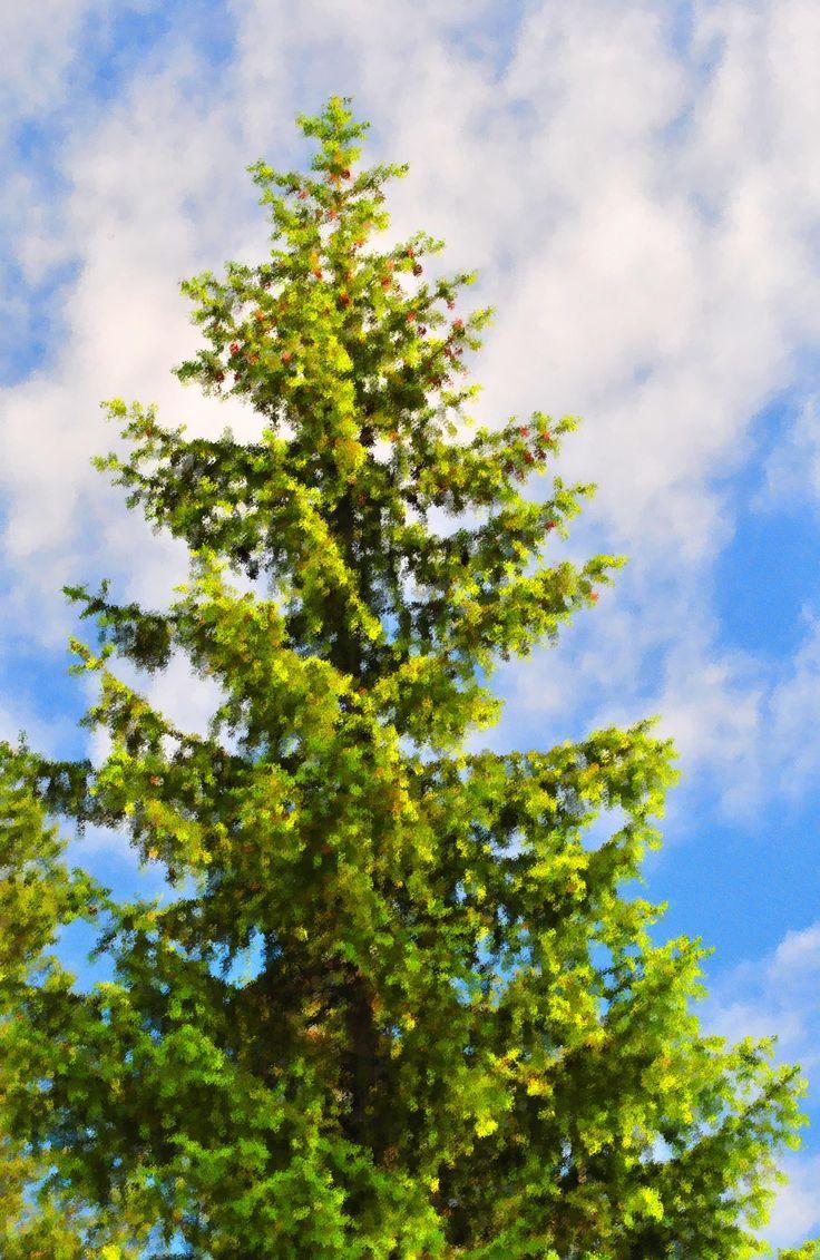 Bright pine tree.