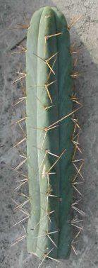 Buy Trichocereus Bridgesii, Bridgesii Cactus for sale here, San Pedro, Salvia Divinorum anad More!