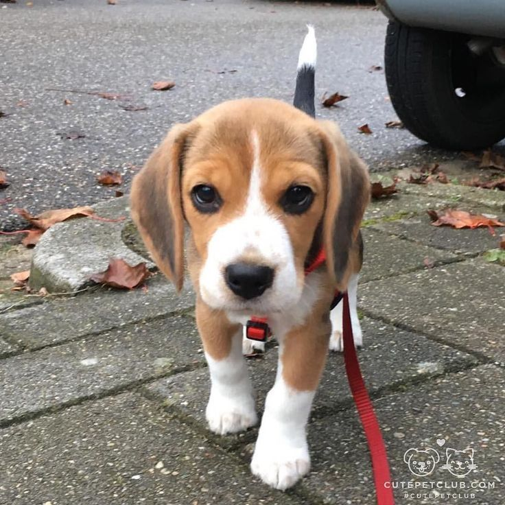 8 Different Types Of Beagles You Should To Know Cute Puppies