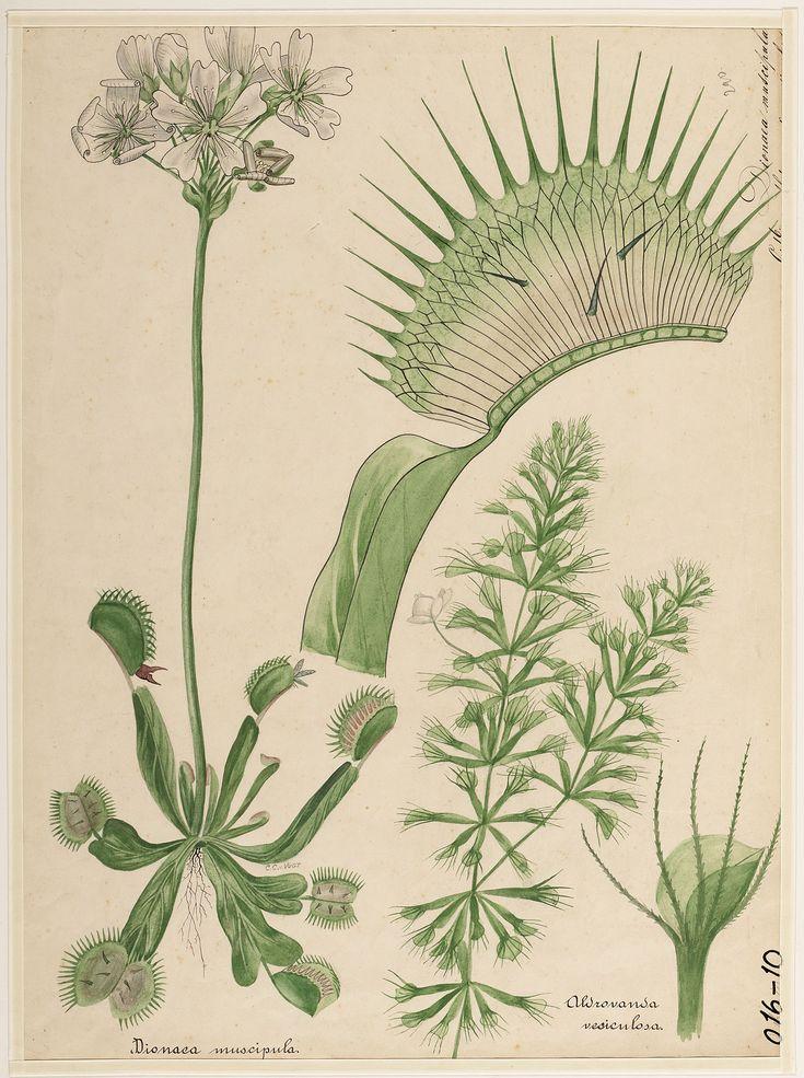 Educational wall chart: Dionaea muscipula en Aldrovanda vesiculosa