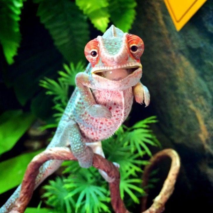 30 adorables fotos de camaleones bebé que te robarán el aliento
