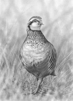 'Red-Legged Partridge' by Nolan Stacey