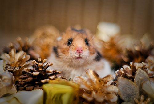 Hamster syrien - Marcin