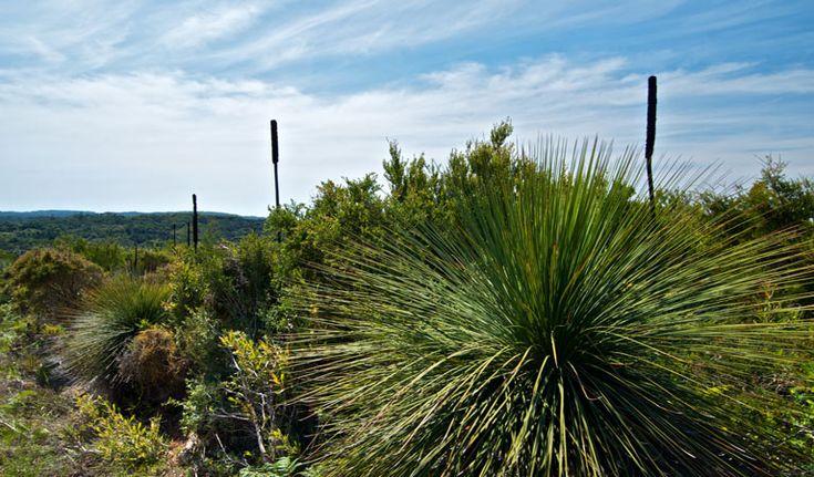 Munmorah State Conservation Area - Australian grass trees