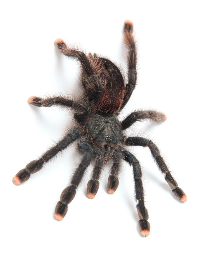 This is an adult female Pinktoe Tarantula aka. Avicularia avicularia.: Dreams Tarantula, Spiders Beautiful, Spiders Admirer, Pinkto Tarantula, Lilies, Spiders O' Hara, Coolest Spiders, Sami S Spiders, Photo