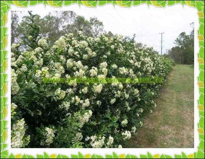 300-sementes-de-murta-de-cheiro-dama-da-noite-cerca-viva-D_NQ_NP_392901-MLB20428170449_092015-F.jpg (660×512)