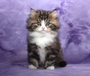 RagaMuffin Kitten reminded me of my kitty CoCo xx