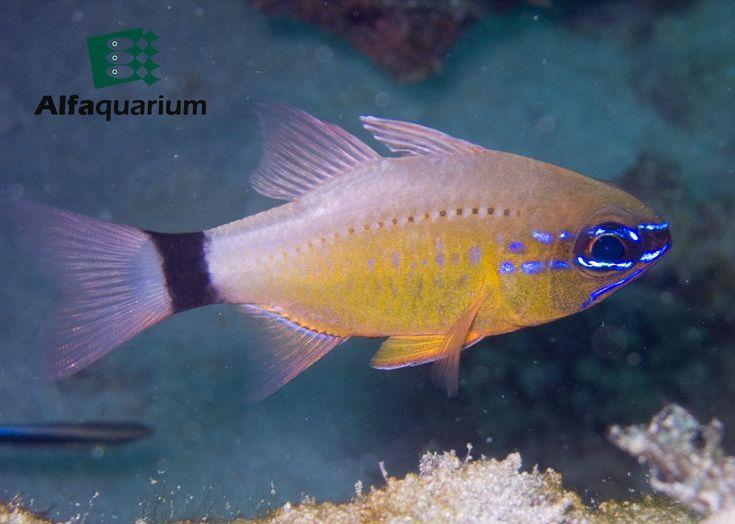 Cardenal de anillos en la cola En un acuario puede ser alimentado con camarones, peces pequeños y otros alimentos frescos o congelados. También se puede acostumbrar a comer comidas procesadas y congeladas.