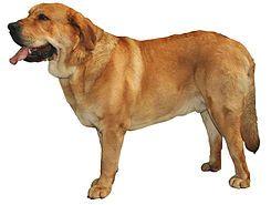 El mastín español es una raza de mastín (perro guardián de ganado) originaria de España, donde abunda en las zonas rurales.