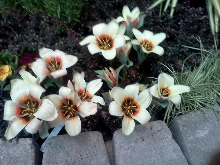Zombie Tulips At Portland, OR Yard, Garden U0026 Patio Show.