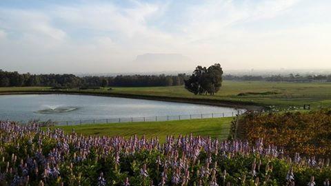 Lavender in full blook at De Grendel