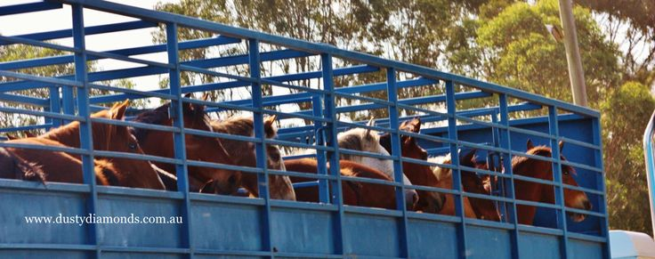 The stars of the show arriving - it's a rodeo kind of life!  Www.dustydiamonds.com.au