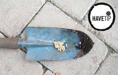 September: Saml snegleæg nu og få færre dræbersnegle næste år