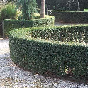 LIGUSTRUM UNDULATUM - Garden Express