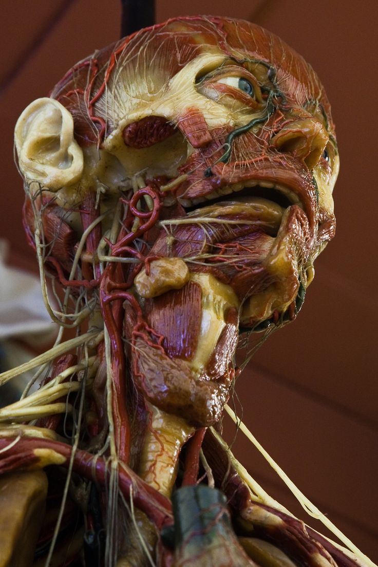 230 best ceroplastica images on Pinterest | Anatomy, Human body and ...