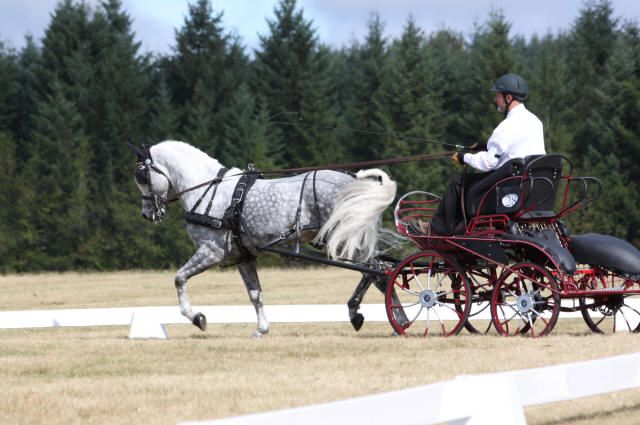 Firecrest Santa Fe (Alydar) a 9 year old grey Morgan stallion, competing at a Combined Driving show