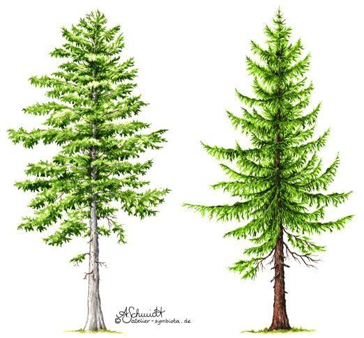 tanne und fichte fir and spruce nature tattoos pinterest tannen. Black Bedroom Furniture Sets. Home Design Ideas