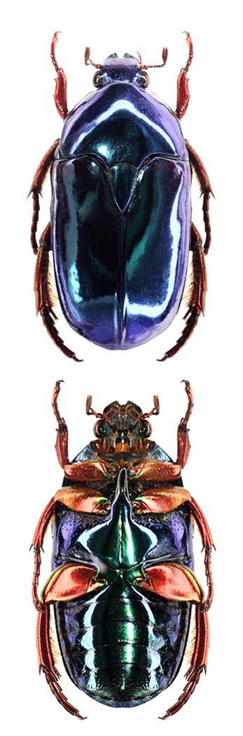 Anacamptorrhina iguipes