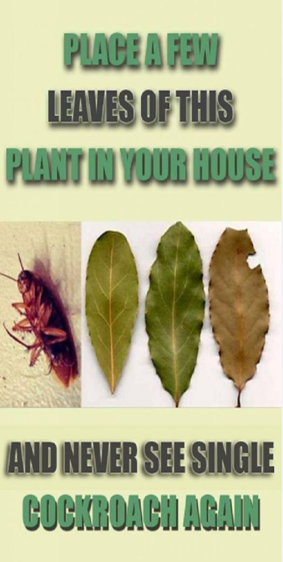 Place A Few Leaves Of This Plant In Every Corner Of Your House And You Will Never See A Single Cockroach Again - Healthy Tips World Cockroaches are nasty insects, their physical appearance may scare everyone. They are often related to garbage and dirt, but you can also see them at home, walking down in our pantry or bedroom.  We can find them anywhere in the world as their power of adaptation very developed. They are one of the most resistant species on the planet as they … http://snip.