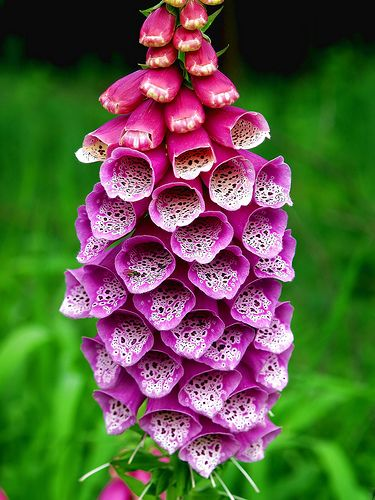Foxglove. We always had these planted in my front yard growing up. One of my moms favorite.