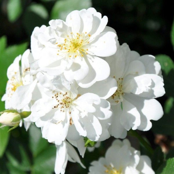 Ramblerrose 'Guirlande d'Amour®'