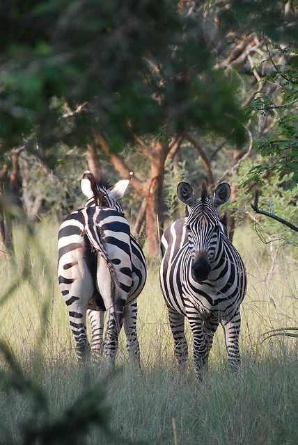 Zebras - Akagera National Park, Rwanda. BelAfrique your personal travel planner - www.BelAfrique.com