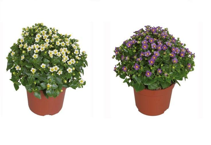 Exacum Affine Egzakum Çiçeği, 20 cm, KARGO BEDAVA, Saksıda - Fidan Satışı, Fide Satışı, internetten Fidan Siparişi, Bodur Aşılı Sertifikalı Meyve Fidanı Süs Bitkileri