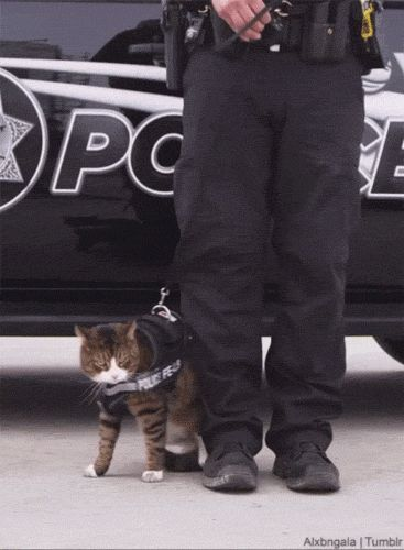 tastefullyoffensive:  Why police cats aren't a thing. [video]