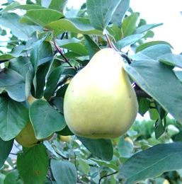 quince fruit, the seed can be used for a hair setting lotion
