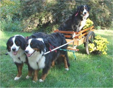 "Bernese Mountain dogs - ""Willow, age 5, Bailey age 3, Whisper age 1. Willow is Whisper's mother."""