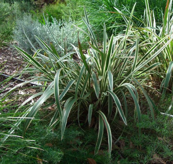1000 images about landscape gardening plants on pinterest for Variegated grass plant