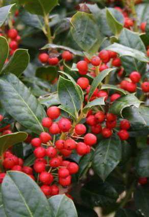 23 best trees images on pinterest backyard ideas garden shrubs evergreen shrubs for hedge holly nellie r stevens ilex hybrid grows mightylinksfo Images