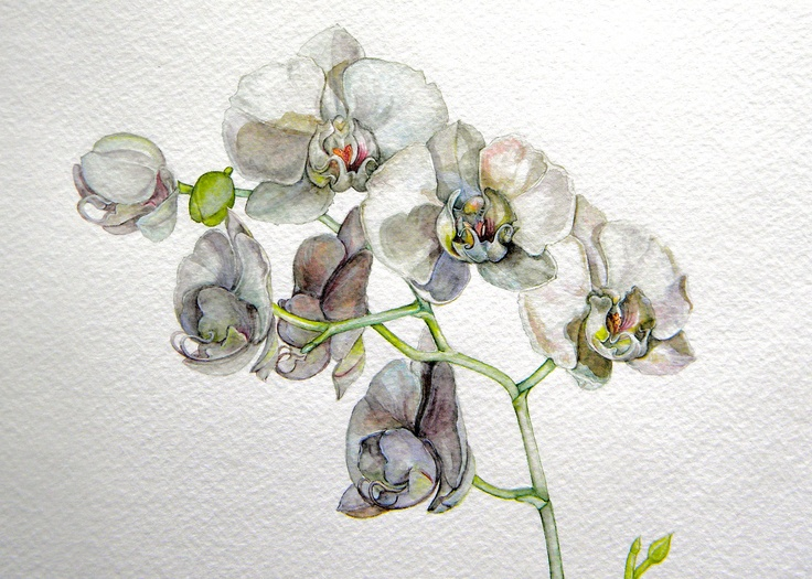 White phaleanopsis, watercolor by Mireille Belajonas, 2011